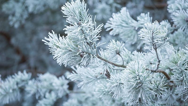 frost on evergreen needles